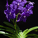Vanda Pachara Dellight 'Isabella' (photo by Alfred Hockenmaier)