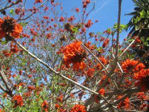 coral tree (Erythrina caffra)