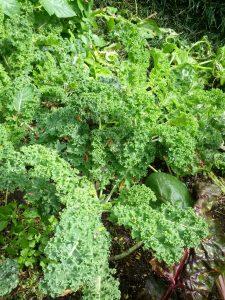 curly-leaf kale