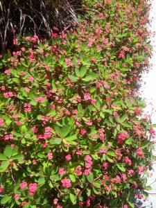 dwarf crown of thorns (Euphorbia millii 'Splendens') in front of Marriott Hotel, Sherman Oaks