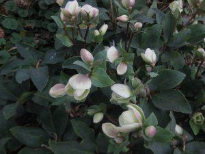 hellebore (Helleborus sp.)