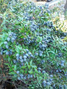 myrtle (Myrtus communis 'Buxifolia')