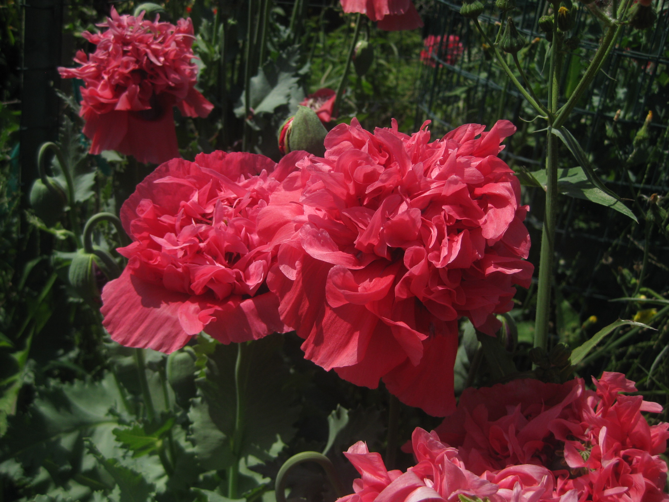 Poppies Are Like Gardeners Their Cups Runneth Over The Smarter