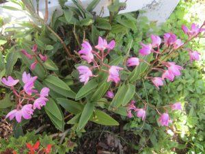 pink rock orchid (Dendrobium kingianum)