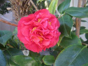 red camellia (Camellia japonica)
