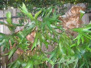 staghorn fern (Platycerium sp.) growing on wooden fence, irrigated by spaghetti tubing