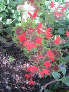 stellar geranium (Pelargonium x hortorum 'Vancouver Centennial')