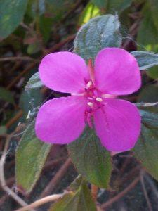 trailing princess flower (Centradenia grandiflora)