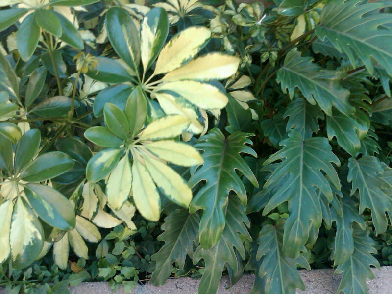 Create a shady parasdise with xanadu philodendron the - Schefflera variegata ...