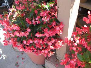 Begonia 'Dragon Wing'