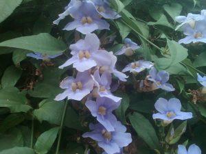 Bengal clock vine (Thunbergia grandiflora)