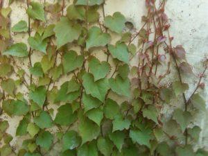 Boston ivy (Parthenocissus tricuspidata)