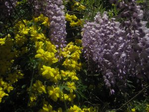 Chinese wisteria (Wisteria sinensis) and primrose jasmine (Jasminum mesneyi)