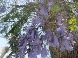 Jacaranda tree (Jacaranda acutifolia)