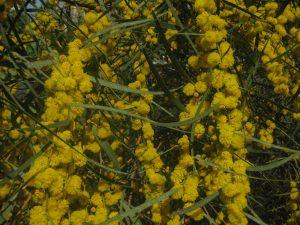 Jerusalem acacia tree in full bloom