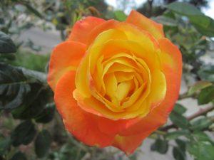 'Judy Garland' floribunda rose