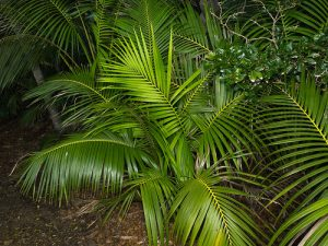 Kentia palm (Howea forsteriana)