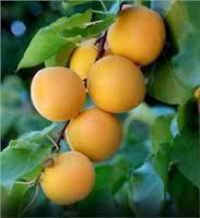 'Moorpark' apricot