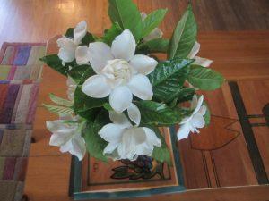 'Mystery' gardenia
