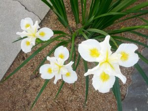 Pacific Coast iris (Iris douglasiana 'Canyon Snow') (1)