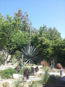 Sandy Sand's agave