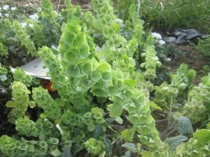 bells of Ireland (Moluccella laevis)