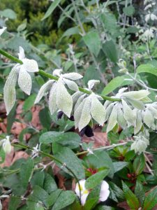 black flower mint (Salvia discolor)
