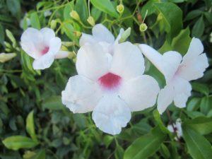 bower vine (Pandorea jasminoides)