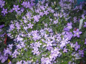 bellflower (Campanula sp.)
