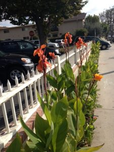 cannas next to picket fence