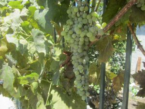 cluster of grapes, Sherman Oaks, July 8, 2014