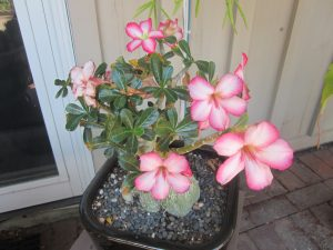 desert rose (Adenium sp.)