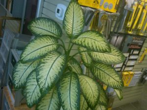 dumbcane (Dieffenbachia amoena) in Jack Flam's lock and key store