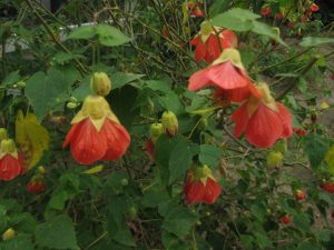 flowering maple (Abutilon hybridum 'Fruit Salad')