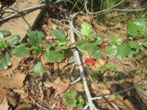 fuchsia flowering gooseberry (Ribes speciosum)