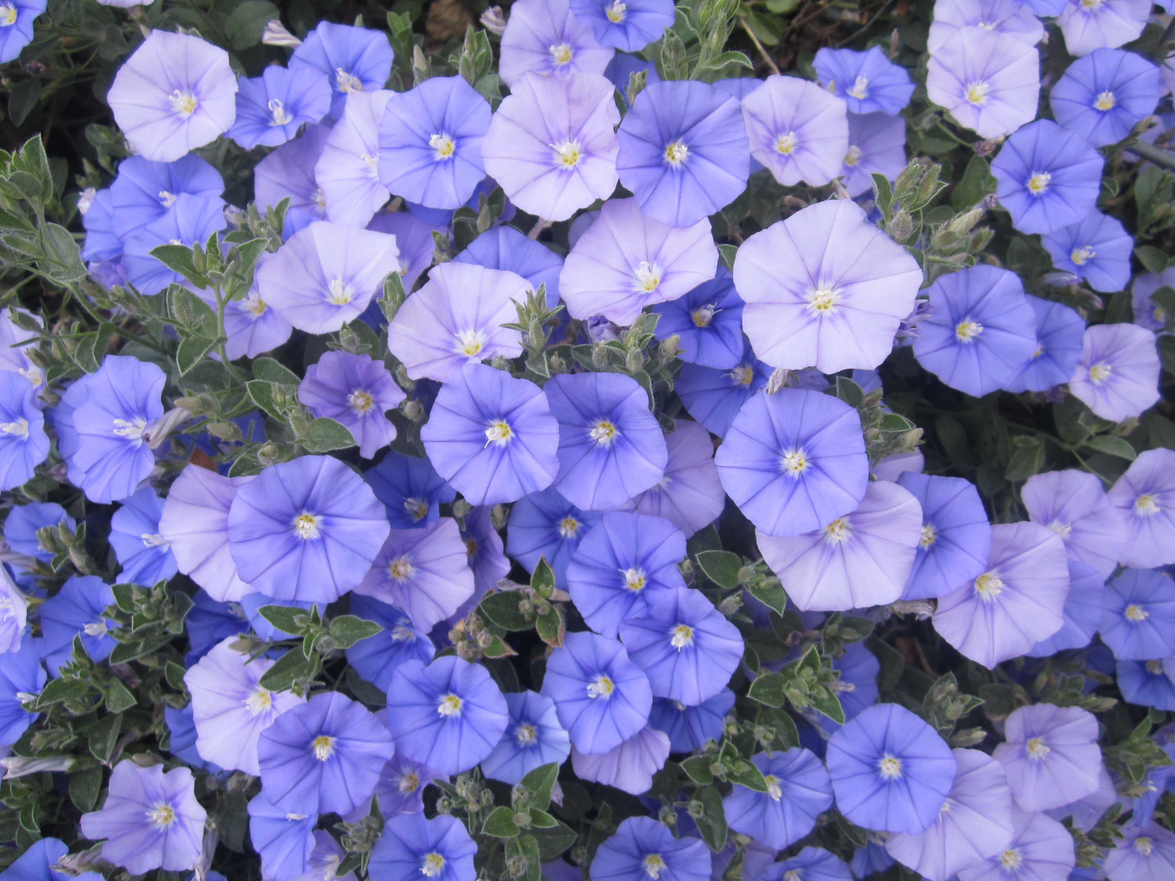 10 Outstanding Plants With Bluemauve Flowers The Smarter Gardener