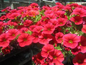 million bells (Calibrachoa 'Superbells Scarlet')