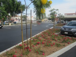 flower carpet roses with newly planted gold medallion tree (Cassia leptophylla)