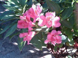 pink Peruvian lily (Alstroemeria sp.)