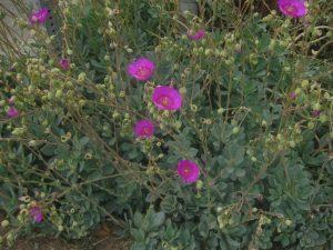 rock purslane (Calandrinia spectabilis)