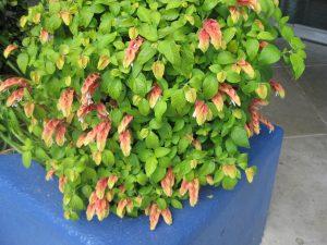 shrimp plant (Justicia brandegeana)