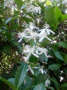 sweet autumn clematis (Clematis terniflora)