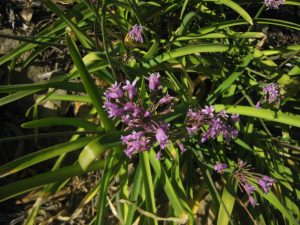 sweet garlic (Tulbaghia fragrans)