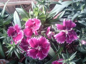 sweet William (Dianthus sp.)