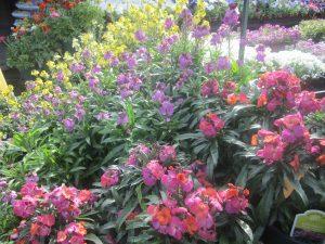 wallflowers (Erysimum '