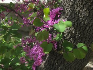 western redbud (Cercis occidentalis)