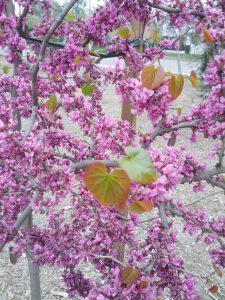 western redbud (Cercis occidentalis) at Van Nuys-Sherman Oaks Park