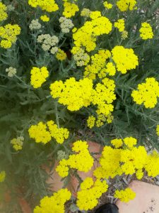 yarrow (Achillea 'Moonshine')