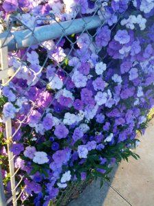 yesterday, today, and tomorrow (Brunfelsia pauciflora 'Floribunda')