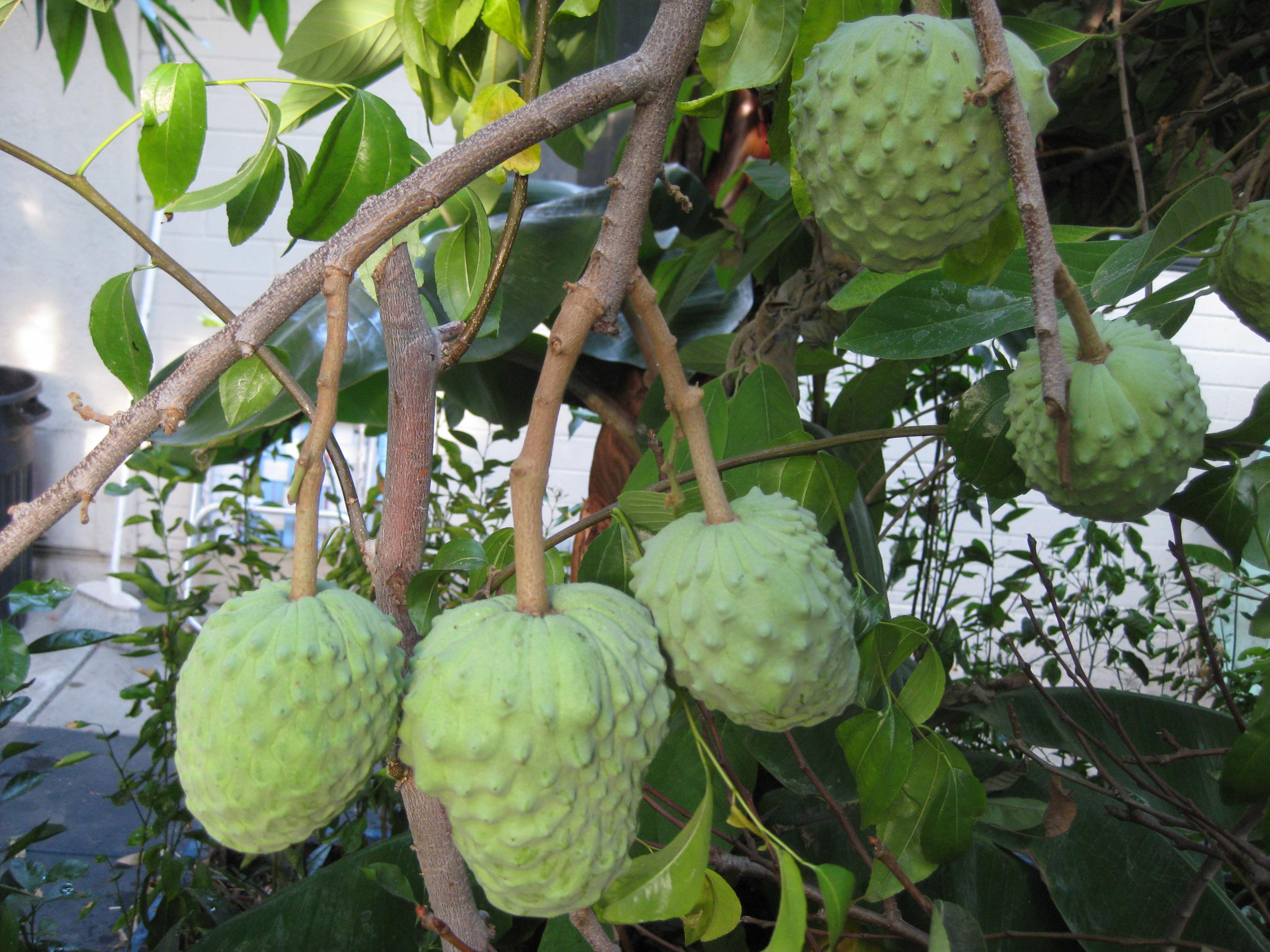 from magnolias to cherimoyas the smarter gardener